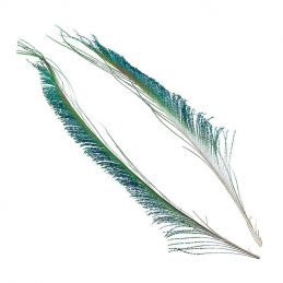 PEACOCK SWORD TAIL